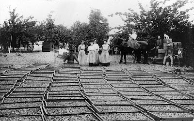 800px-Drying_apricots_on_the_George_Fox_Ranch_Tustin_circa_19101
