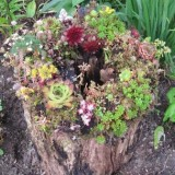 Sedum stump