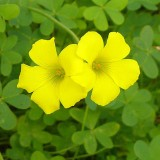 677px-Oxalis-pes-caprae0016c
