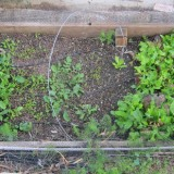 One of the front beds--soil problems, I think, are causing the gap in the middle of the bed.