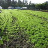 Just a short time after planting--a field of wheat sprouts in Los Angeles County.
