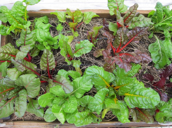 Swiss chard--January 2010