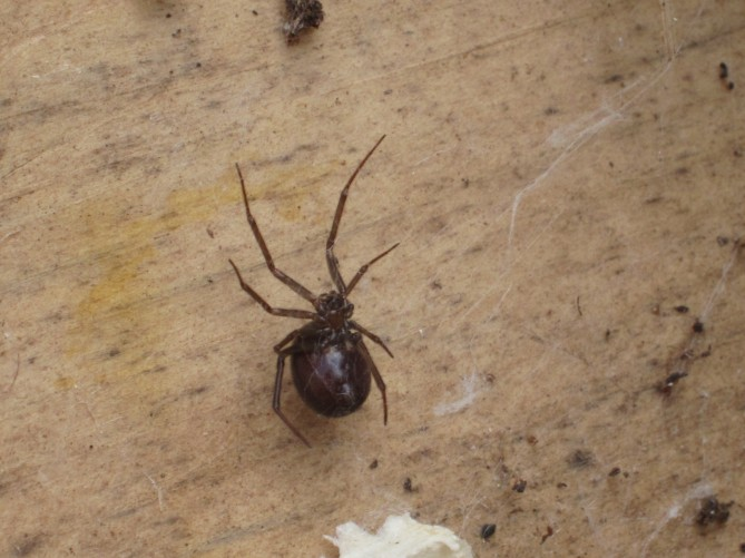 some kind of widow spider
