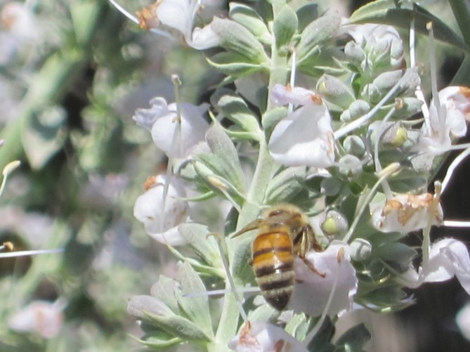 bee in sage