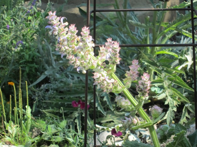 clary sage