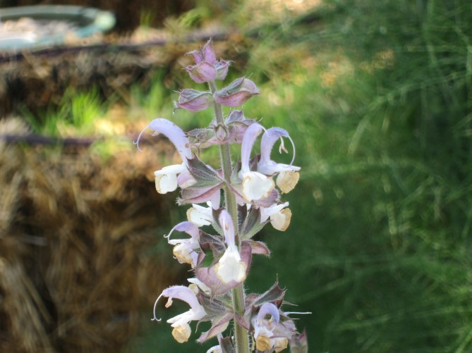 clary sage flower