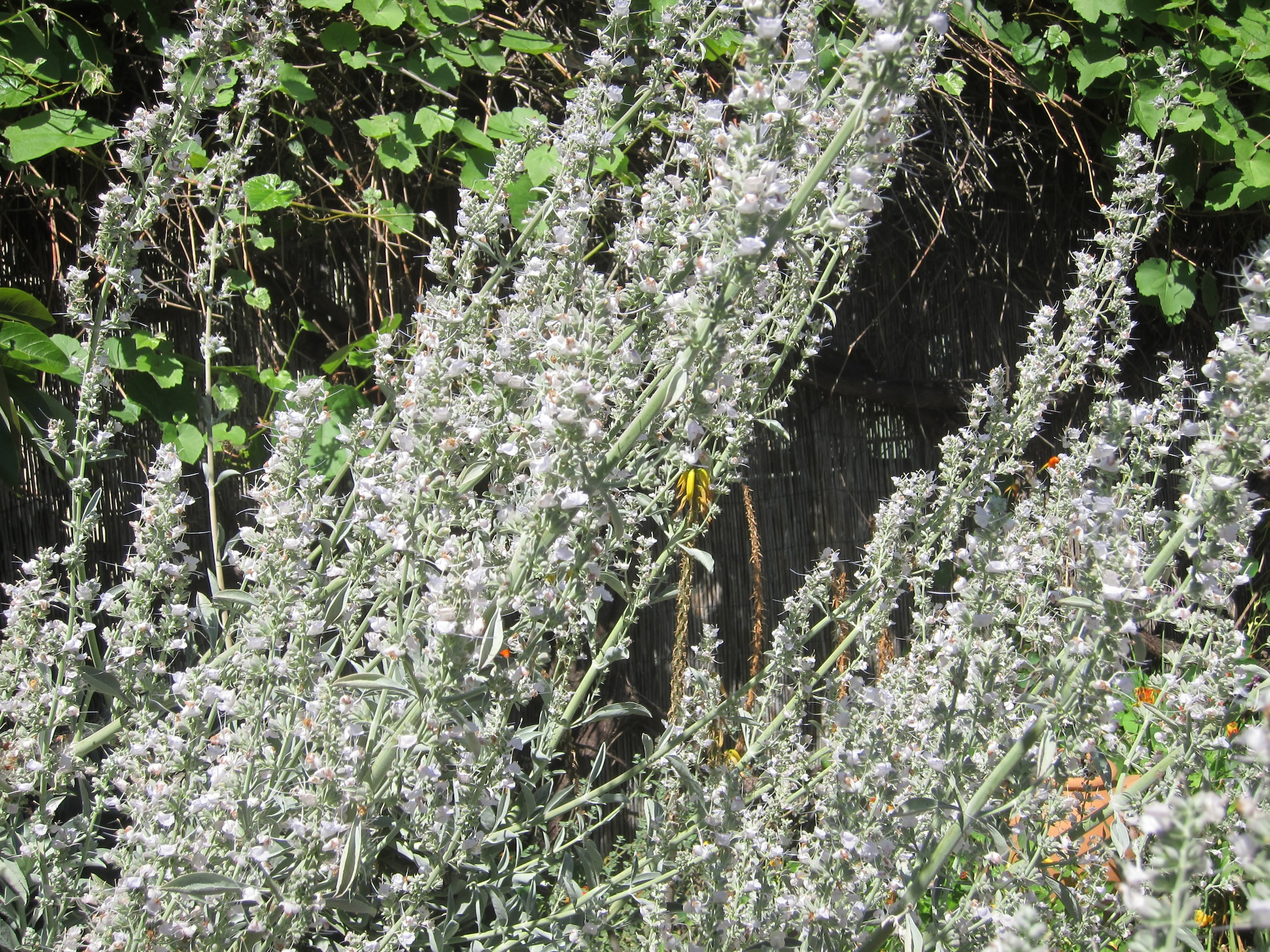 Flowers In Bloom White Sage And Bees And Our Other Sage Friends Root Simple