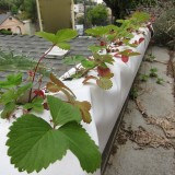 strawberry gutter self watering container