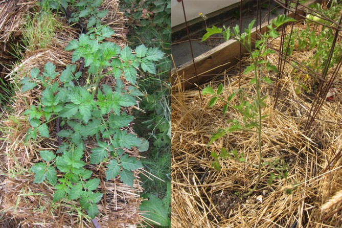 raised bed vs. straw bale tomato