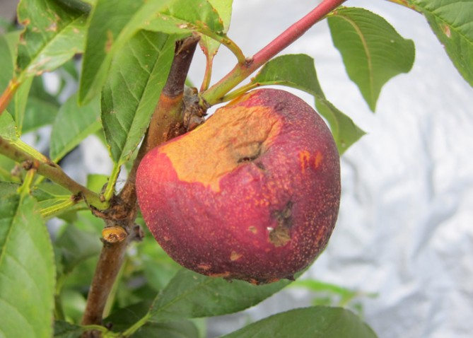thrip damage on nectarine