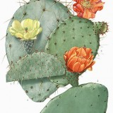 Opuntia illustration