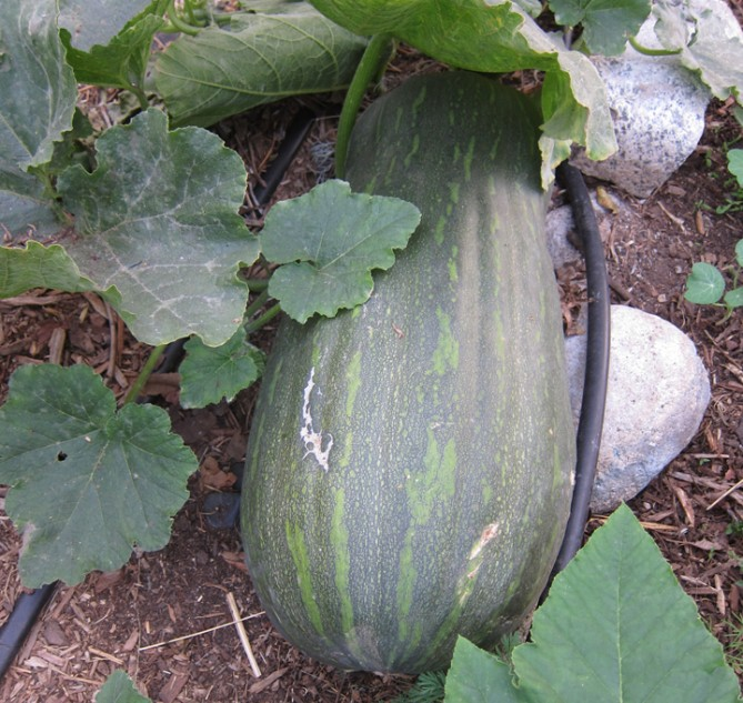 """Long of Naples"" squash"