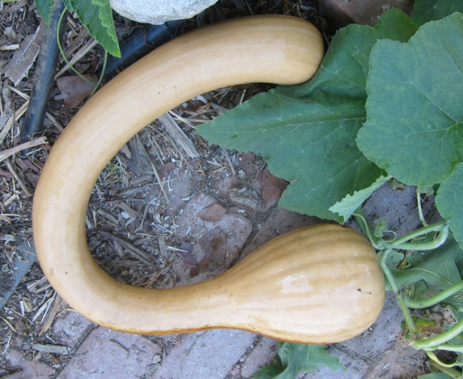 Tromboncino as winter squash.