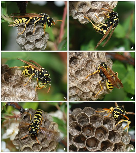 Paper wasp building a nest. Image: Wikimedia.
