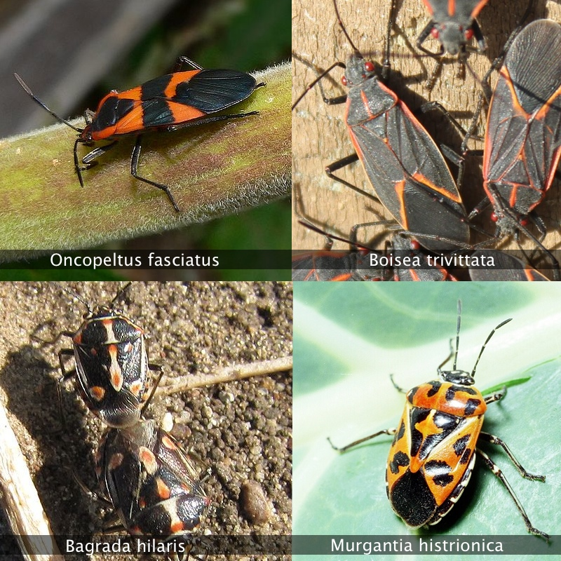 What is that black and orange bug in my garden? | Root Simple