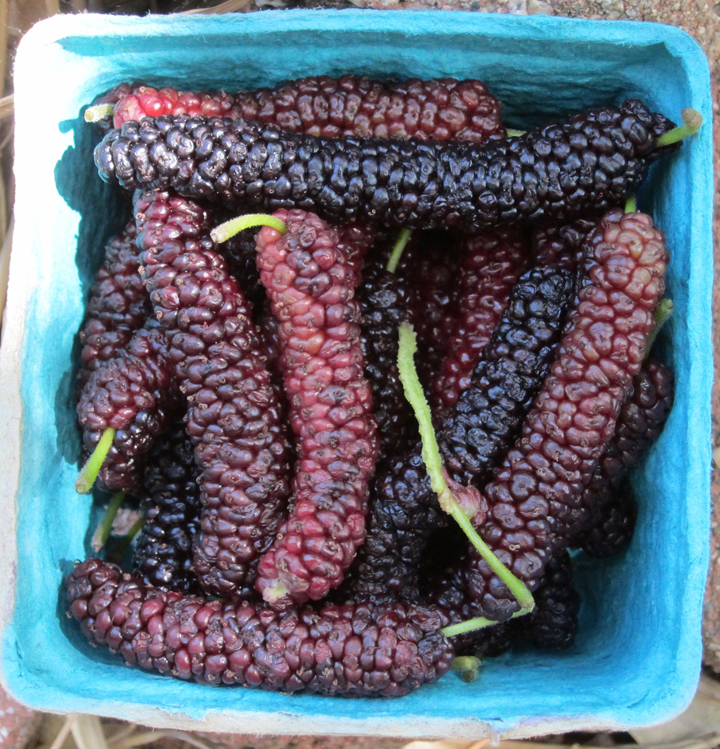 Pakistan Mulberry Fever Root Simple