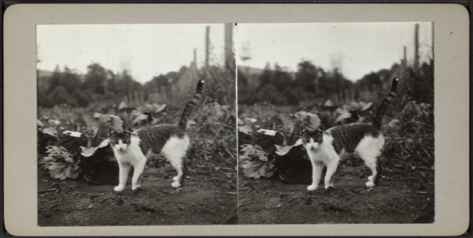 800px-Cat_standing_in_a_field,_from_Robert_N._Dennis_collection_of_stereoscopic_views