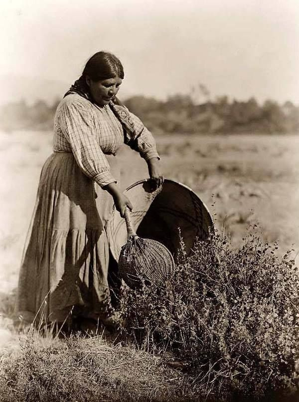 Pomo woman harvesting seeds