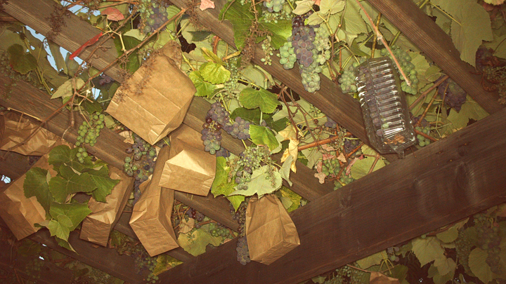 How Do I Keep Squirrels And Rats From Eating My Grapes