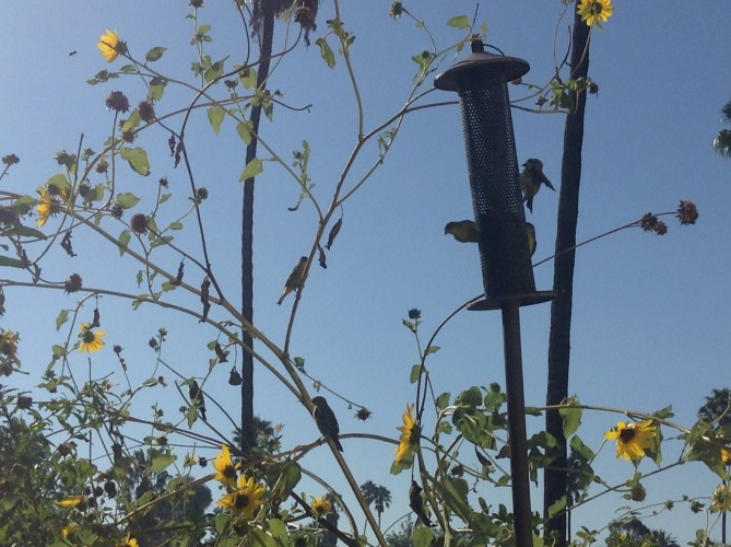 finches and sunflowers