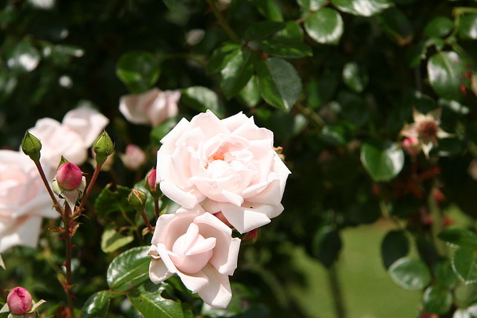 New Dawn climbing rose. Image: Wikimedia.