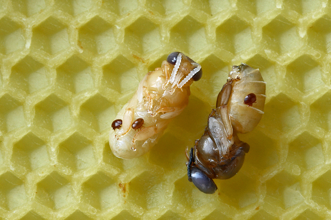 Drone pupae with varroa mites. Image: Wikipedia.