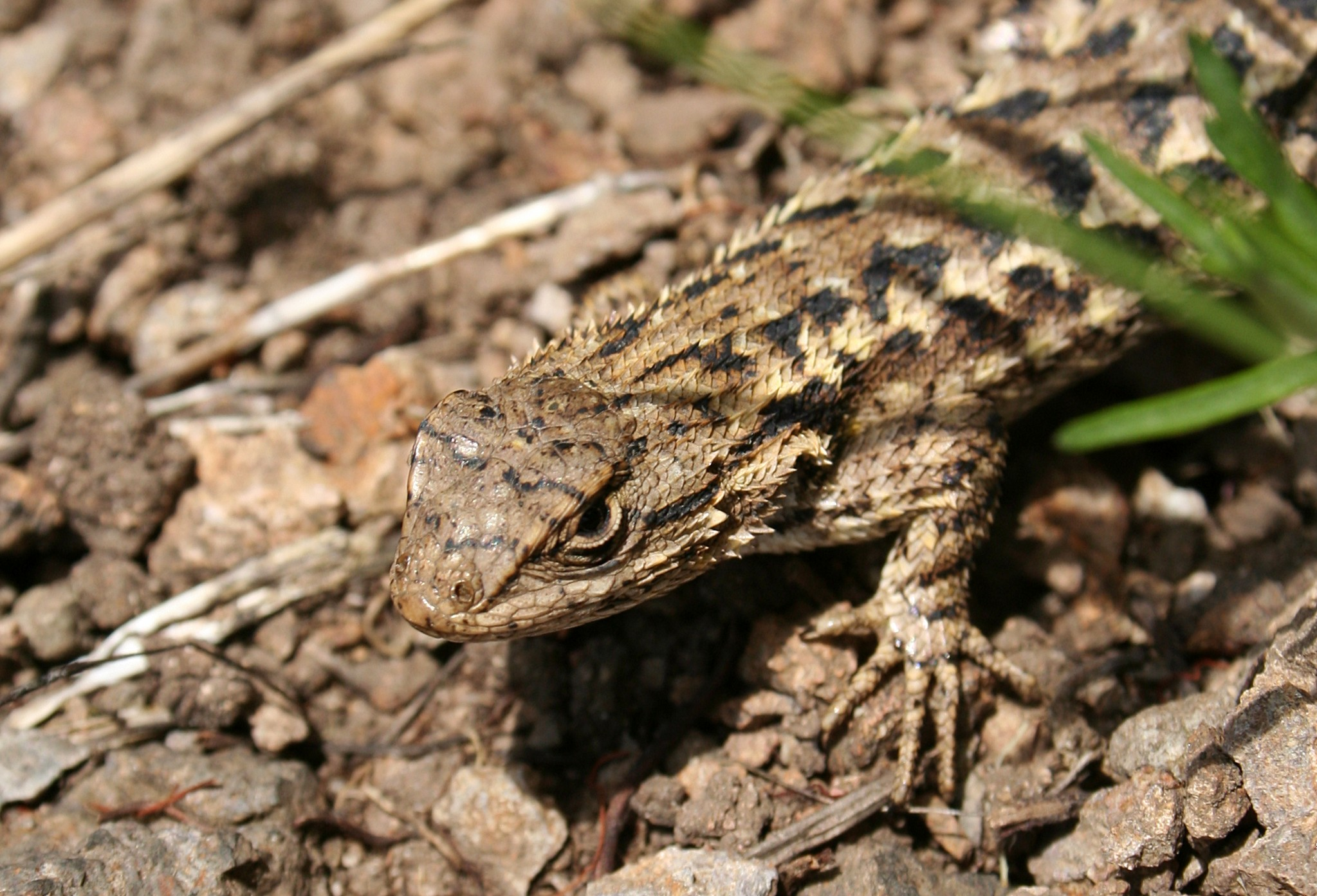 Fence lizard, photo by Calibas - own work, CC BY-SA 3.0, https://commons.wikimedia.org/w/index.php?curid=2967183