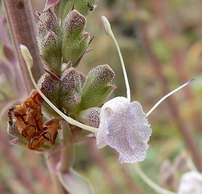 Salvia Means Salvation: White Sage | Root Simple