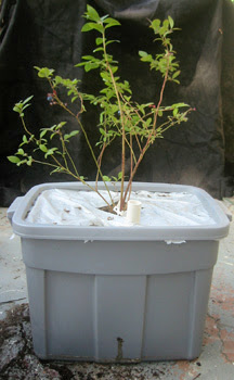 Blueberries In A Self Watering Container Root Simple