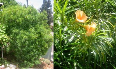 Least favorite plant yellow oleander thevetia peruviana root simple thumbing mightylinksfo