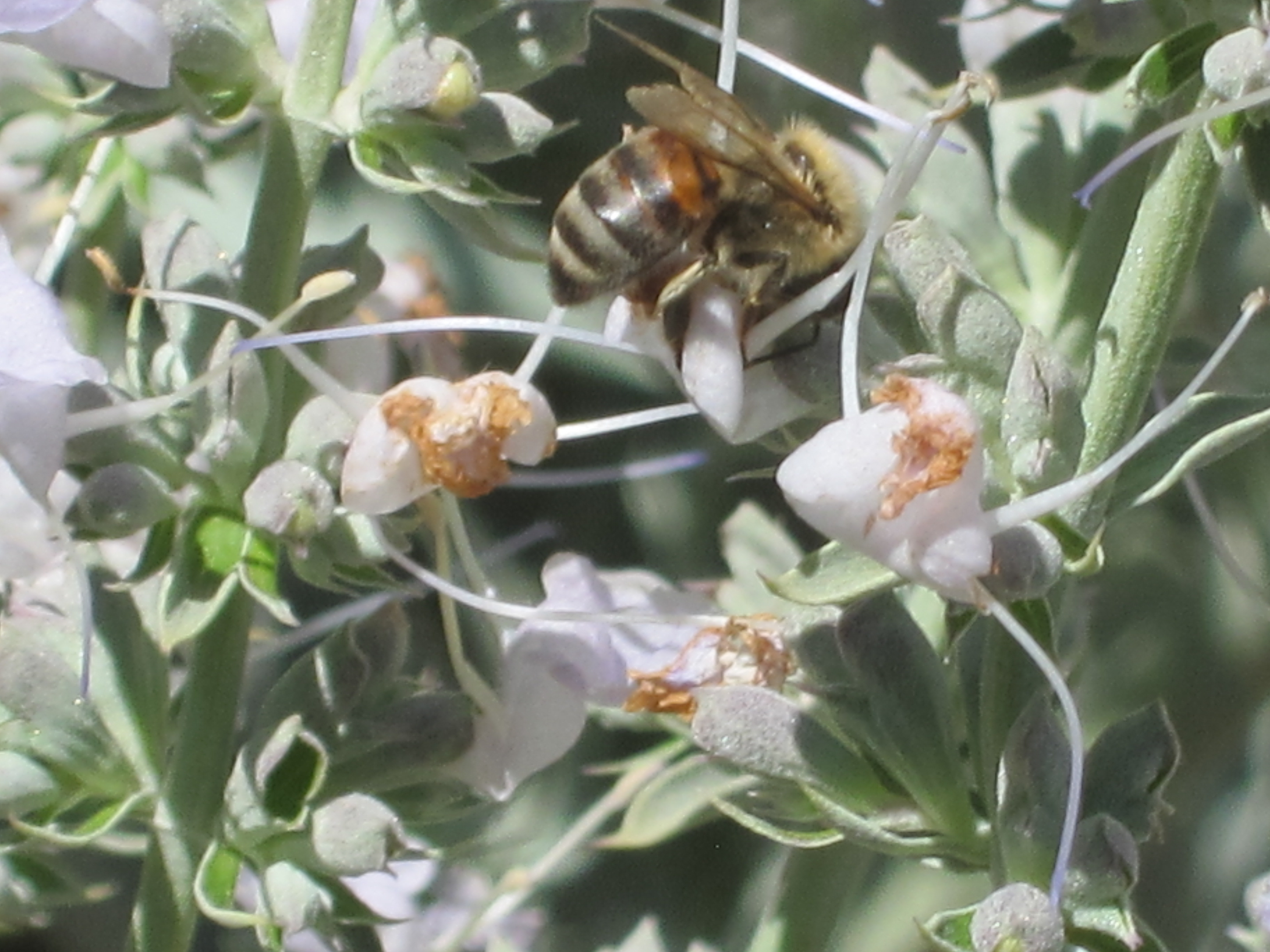 White Sage And Bees And Our Other Sage Friends Root Simple