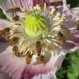 bees on a poppy