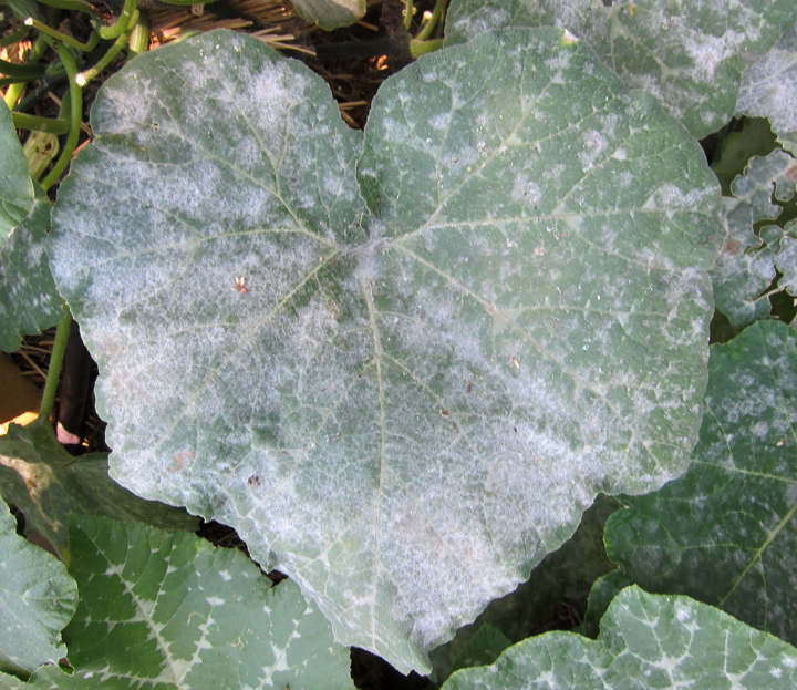 How To Stop Powdery Mildew Root Simple