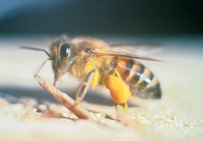 the africanized bee myth root simple