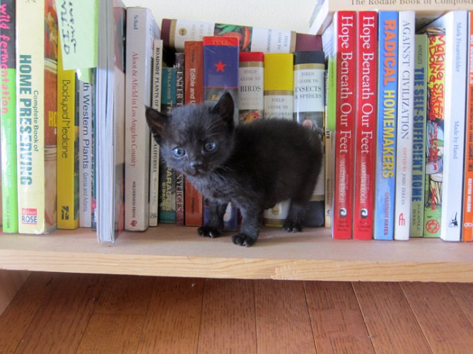 kitten on bookshelf