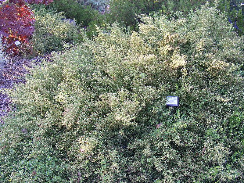 Bees Will Love Your Coyote Brush Hedge Root Simple