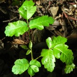 young poison oak