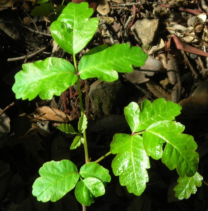 Quick Relief for Poison Oak | Root Simple