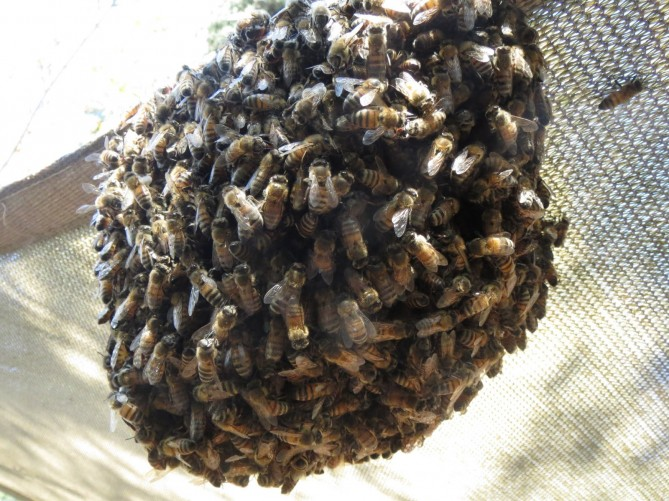 bees-in-cluster