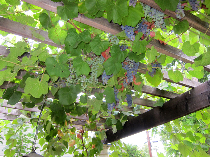 Our Grape Arbor Root Simple