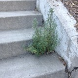 lavender growing out of concrete