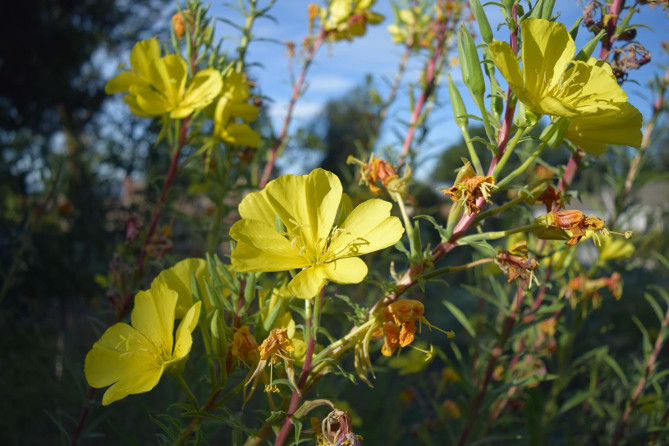 Hooker's Evening Primrose in bloom. Photo: Lisa Novick.