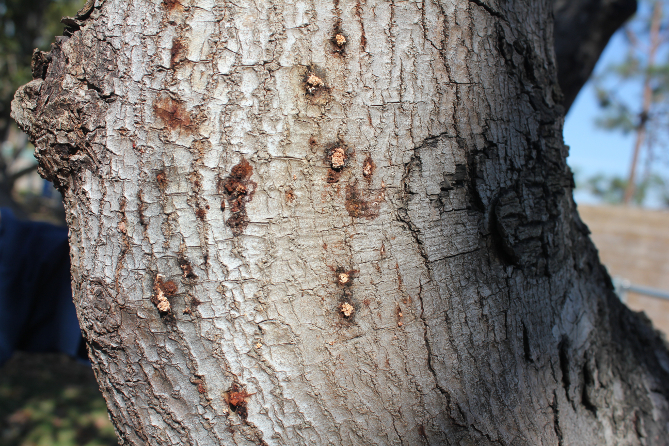 Multiple entry holes on avocado trunk. Photo credit: Eskalen Lab, UC Riverside.