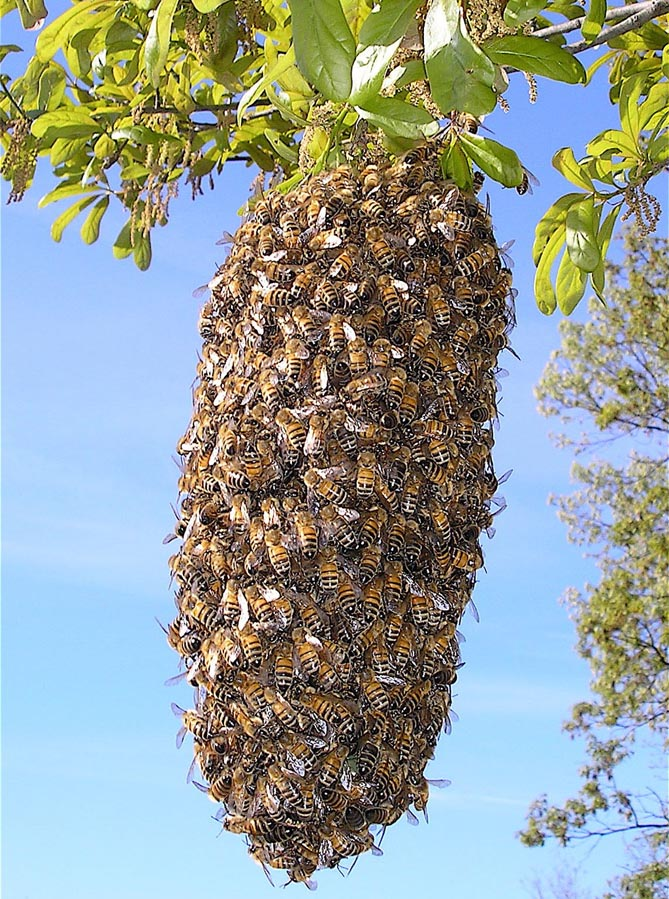 Thousands Of Bees Hide In Ga Womans Home