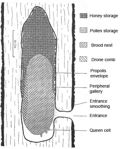 A Typical Natural Bee Nest from: Seeley, T. D., Morse, R. A. (1976).