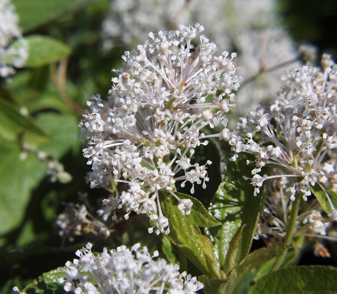By United States Fish and Wildlife Service, Sherburne National Wildlife Refuge: Ceanothus americanus L., Public Domain, https://commons.wikimedia.org/w/index.php?curid=666534